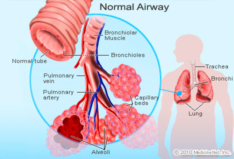 Picture of Bronchioles