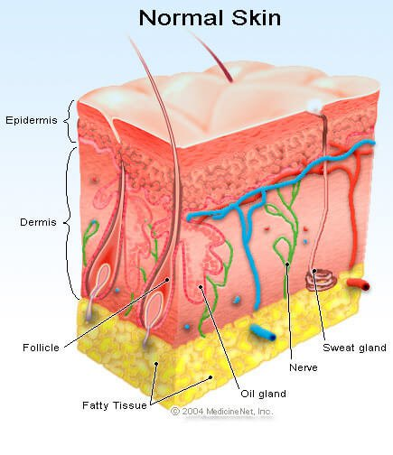 Picture of the layers of the skin including the sweat glands