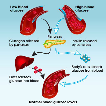 An illustration shows how insulin and glucagon help regulate blood glucose levels.