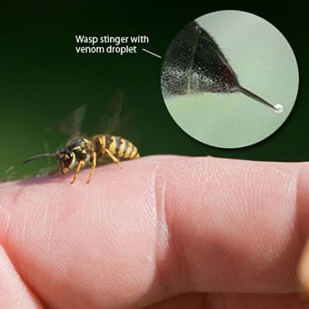 A wasp on the finger of a person with a close-up callout of the wasp stinger showing a droplet of venom.