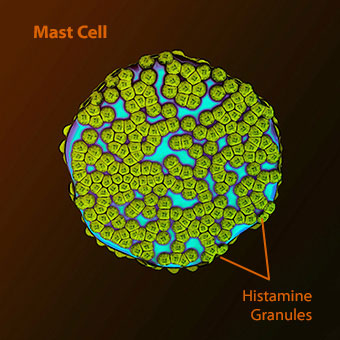 An illustration of a human mast cell with histamine granules.