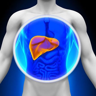 3D Illustration highlighting the location of the liver in the body.