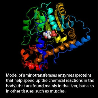 Model showing aminotransferases enzyme (AST/ALT).