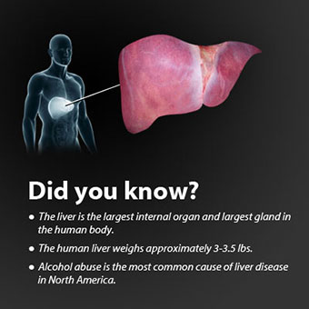 Image of the liver and interesting facts.