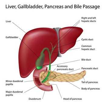 A illustration diagram of the liver, pancreas and bile passage.