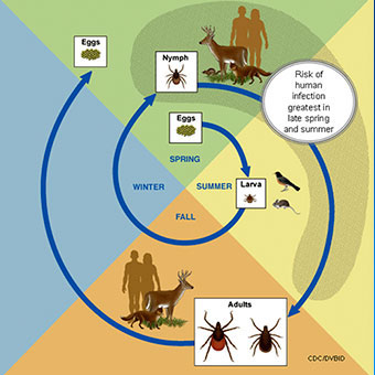 This illustration shows the life cycle of  blacklegged ticks that can transmit Lyme disease.