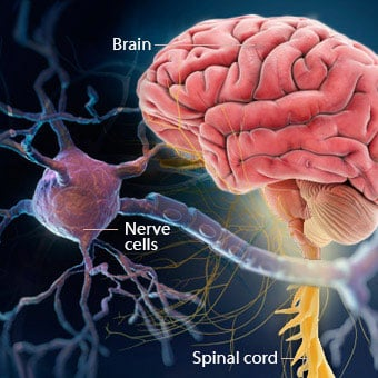 An illustration of the brain, spinal cord and nerve cells which are affected by multiple sclerosis (MS).