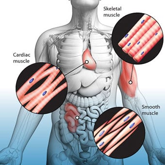 An illustration shows the three types of muscle in the body: cardiac, skeletal, and smooth.