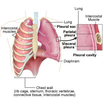 Illustration and anatomy of the pleura, lungs and chest wall.