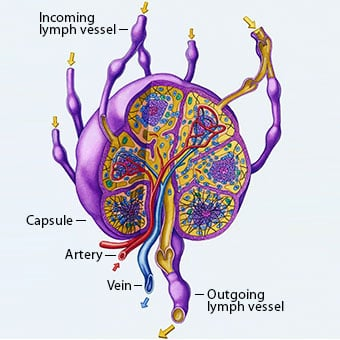 A close-up illustration of a human lymph node and blood flow pathways.