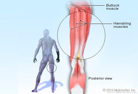 Picture of Hamstring Muscle