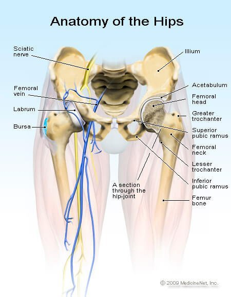 Picture of the Anatomy of the Hip