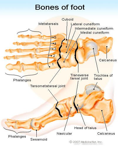 Picture of the Bones in the Foot