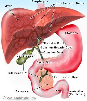 Picture of the liver, gallbladder, and stomach
