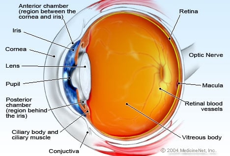Eye Anatomy Detail Illustration