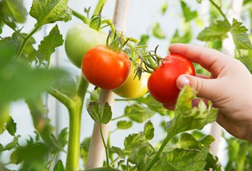 Photo of picking tomatoes.
