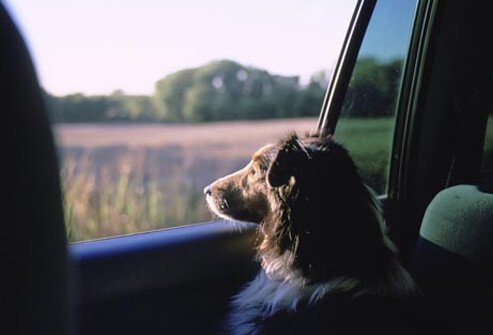 Photo of dog looking out of car window