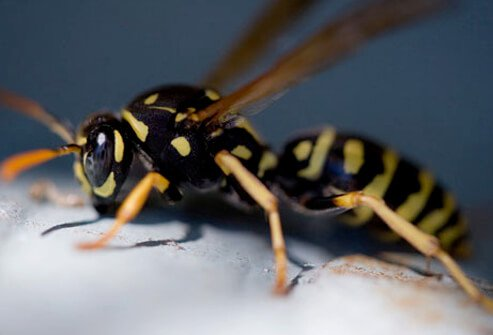The stings of bees, wasps, hornets, and yellow jackets can cause severe reactions in people who are allergic to their stings.