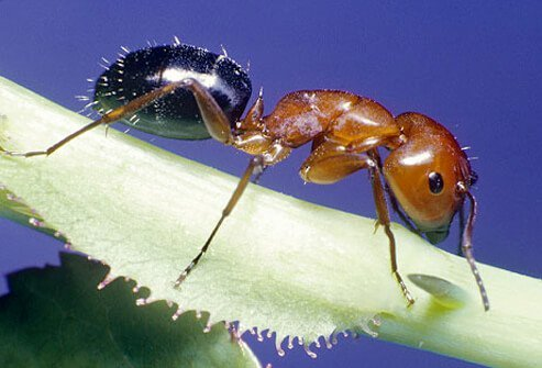 The red imported fire ant is found mainly in the Southern U.S.