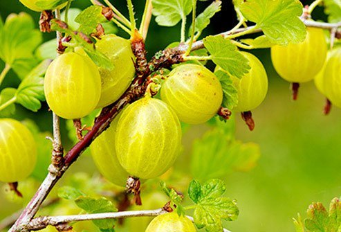 These fruits can be light green, pink, or red when they get ripe.