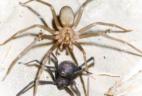 Be cautious of both black widow spiders and brown recluse spiders if bitten.