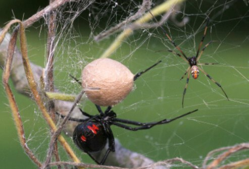 Black widow spiders are active at night (nocturnal), and they prefer dark areas.