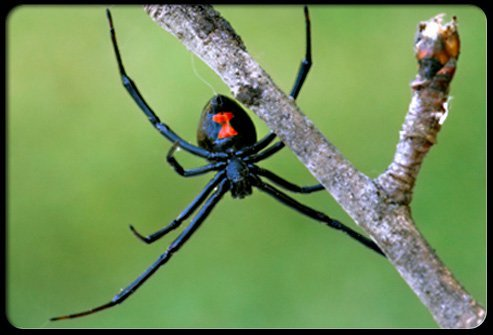 The black widow name is derived from the mistaken belief that the female invariably kills the male after mating.