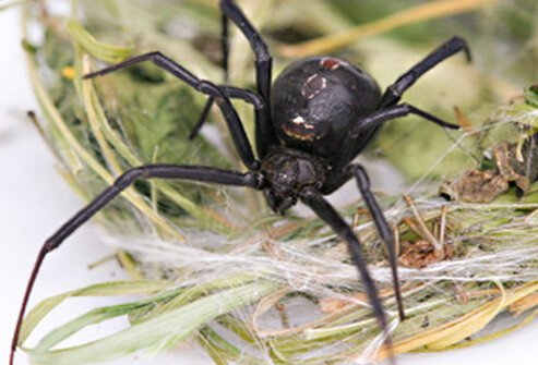 The northern black widow spider is recognized by its row of red spots (upper surface) and two crosswise bars (undersurface).