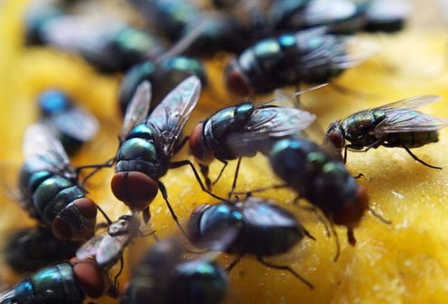 Certain types of flies, which are rich in protein, are ground up and used in east African countries.