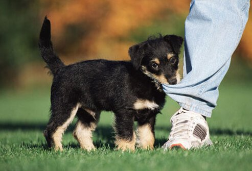Photo of a puppy biting a pant leg.