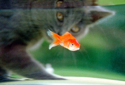 Photo of a cat looking at a gold fish.