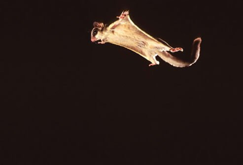 Photo of a sugar glider.