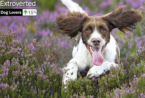 Photo of spaniel running.