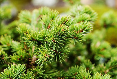 There are about 70 different kinds of these trees and bushes, including juniper and cypress, and some of them can cause major allergy issues.