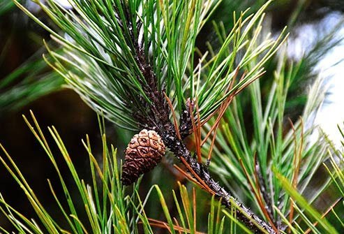Pine trees found all over U.S. make a huge amount of pollen in the spring.