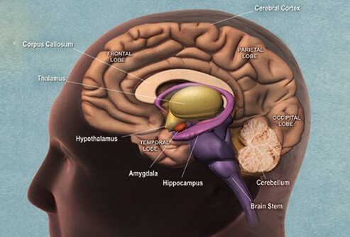 Side view illustration portraying the various parts of the brain.