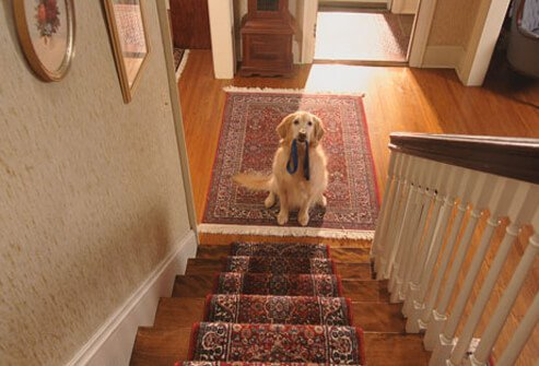 Dog waiting at the bottom of the stair with leash in its mouth