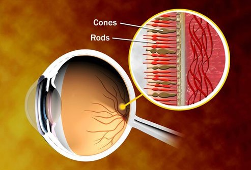 You see colors with help from rods and cones in your eyes.