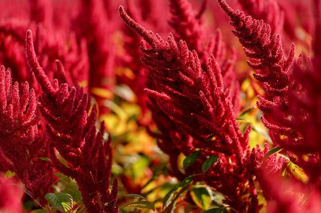 Amaranth flour can replace some wheat flour in recipes.
