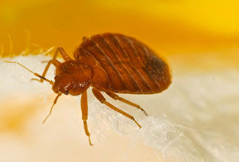 These critters aren't lured by dirty or clean sheets.