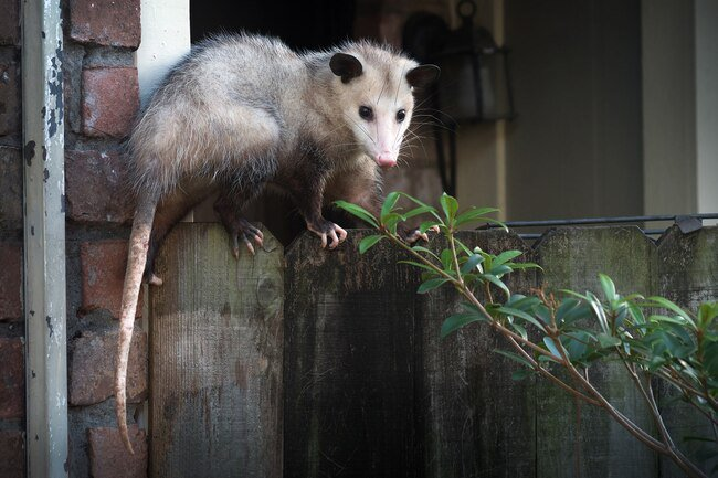 Opossums get scared easily and they eat insects and pests in the garden.