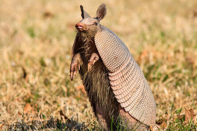 Armadillos rarely cause more problems other than digging up your yard.