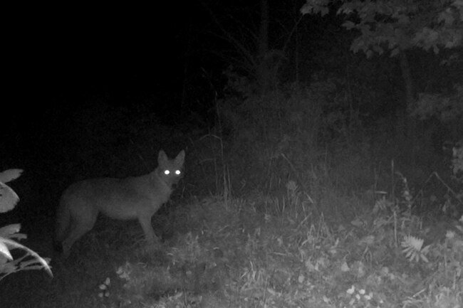 Coyotes are more dangerous to pets than people, but they can carry rabies.