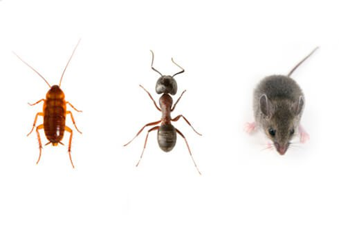 Kitchen pests consist of cockroaches, ants, and mice.