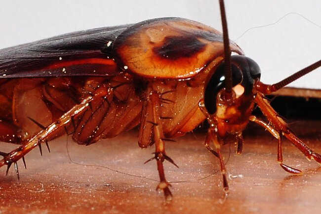 Cockroach droppings and parts can trigger allergies and asthma.