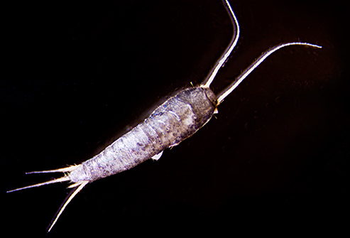 Silverfish lurk in basements, bookcases, closets, boiler rooms, and attics.