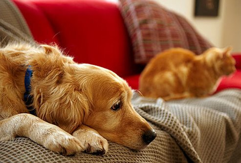 Photo of dog and cat on the sofa.