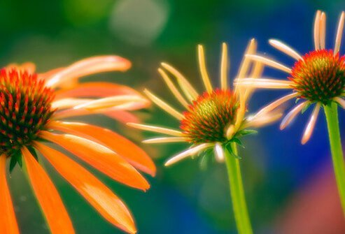 Echinacea is an herb touted as an immune system boosting remedy for various ailments, but medical trials show few signs that it has any beneficial affect.