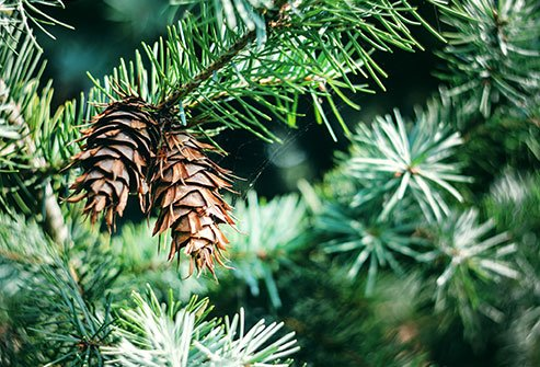 Pycnogenol is a plant extract derived from the maritime pine tree found in the southwestern region of France.