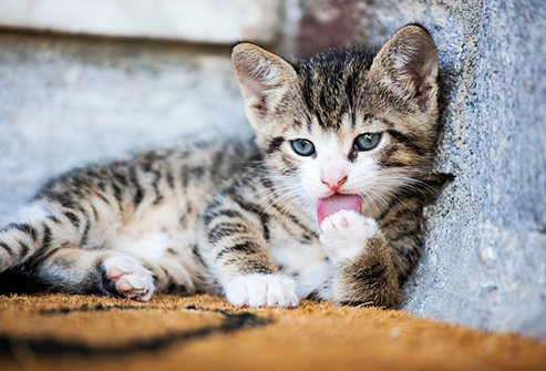 Proteins in a cat's saliva are the major cause of allergy symptoms.